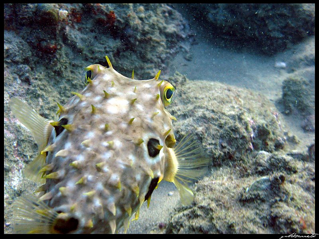 Baiacu Espinho Peixe Marinho do Brasil