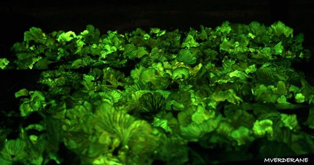 Cogumelos Bioluminescentes Piaui