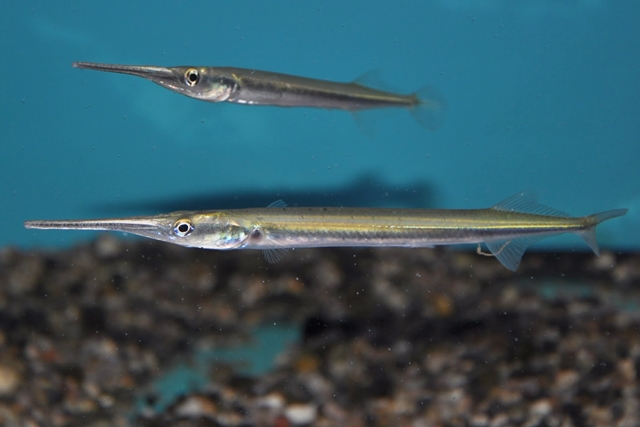 Peixe Agulha Peixe Marinho do Brasil