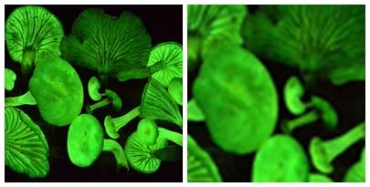 Fungos que emitem luz no Piaui