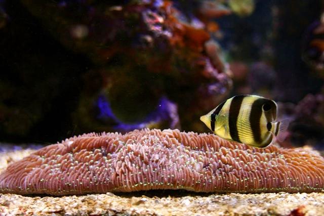 Borboleta Listrado Peixe Marinho do Brasil