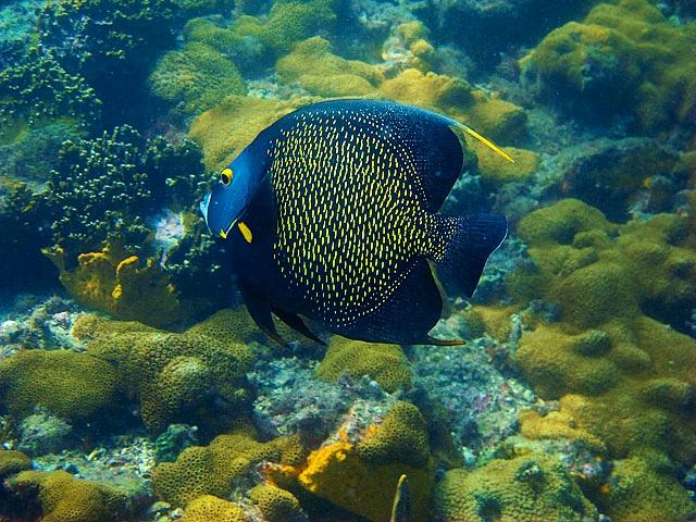 Parú ou Frade Peixe Marinho do Brasil
