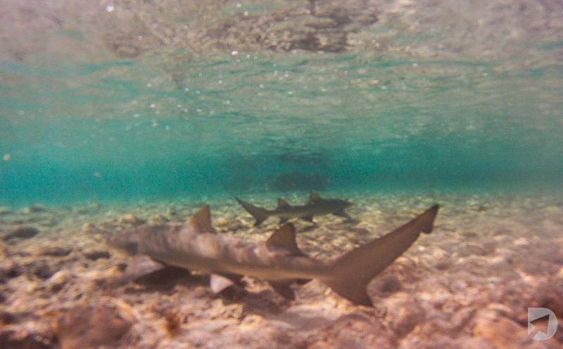 Tubarões Snorkeling Noronha